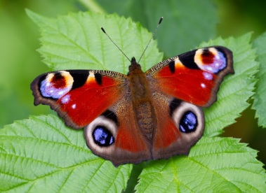 http://upload.wikimedia.org/wikipedia/commons/3/39/Peacock_Butterfly_(7822792836).jpg